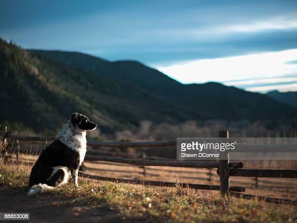USA, Western Colorado, Guard dog sitting next to wooden fence