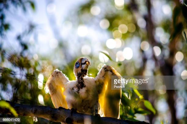 western corella or white cockatoo - ugly bird stock pictures, royalty-free photos & images