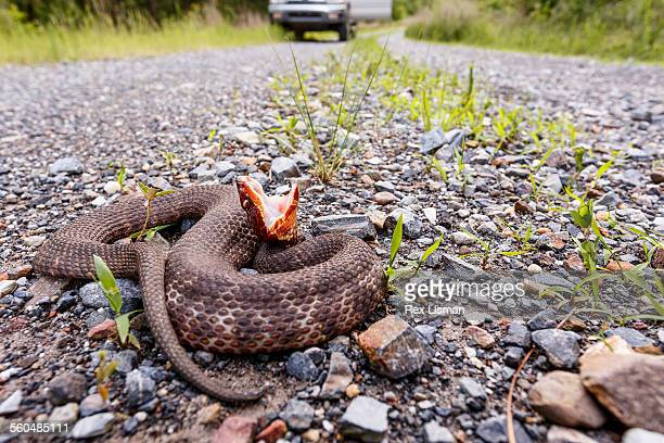 western cottonmouth coiled up on a rural road - cottonmouth snake stock pictures, royalty-free photos & images