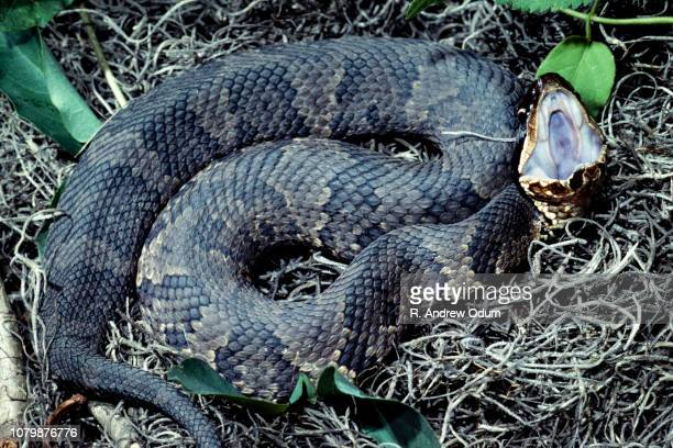 western cottonmouth - cottonmouth snake stock pictures, royalty-free photos & images