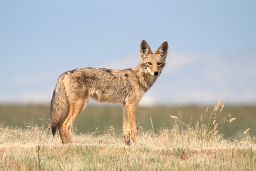 Western Coyote 499088332