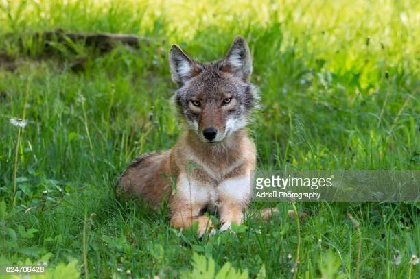 western coyote portrait (canis latrans) - coyote stock pictures, royalty-free photos & images