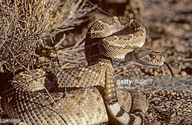 Western diamonback rattlesnake in defensive coil sensing with tongue Crotalus atrox A venomous species native to the United States and Mexico Sonoran...