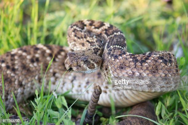western diamondback rattlesnake - eastern diamondback rattlesnake stock pictures, royalty-free photos & images