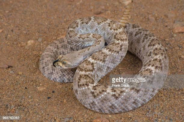 western diamondback rattlesnake - diamondback rattlesnake stock pictures, royalty-free photos & images