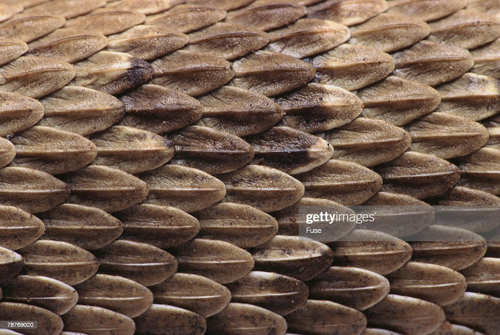 Western Diamondback Rattlesnake Skin Stock Photo - Getty Images