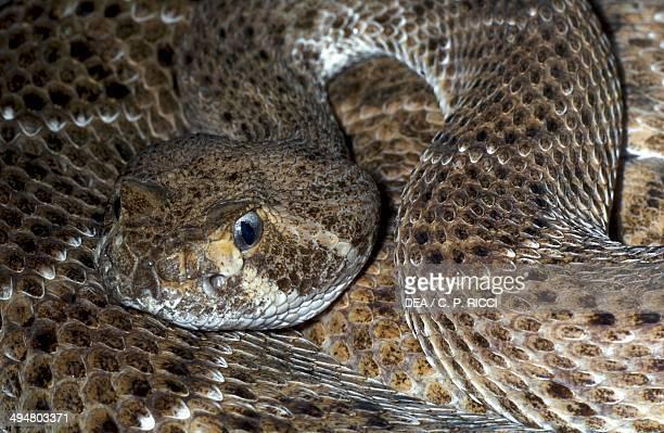 Western diamondback rattlesnake Viperidae