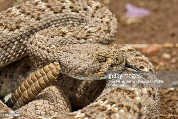 western diamond-backed rattlesnake coiled and ready to strike - skin diamond stock pictures, royalty-free photos & images