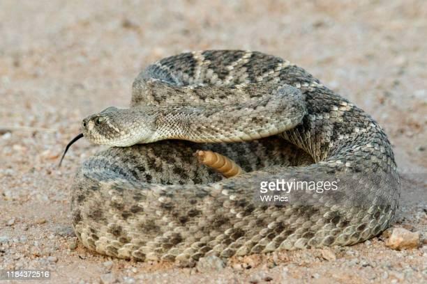Western Dioamondback Rattlesnake Southern Arizona