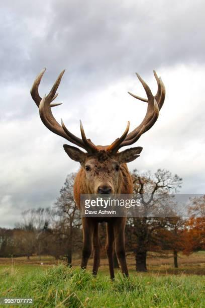 Western European Red Deer stag