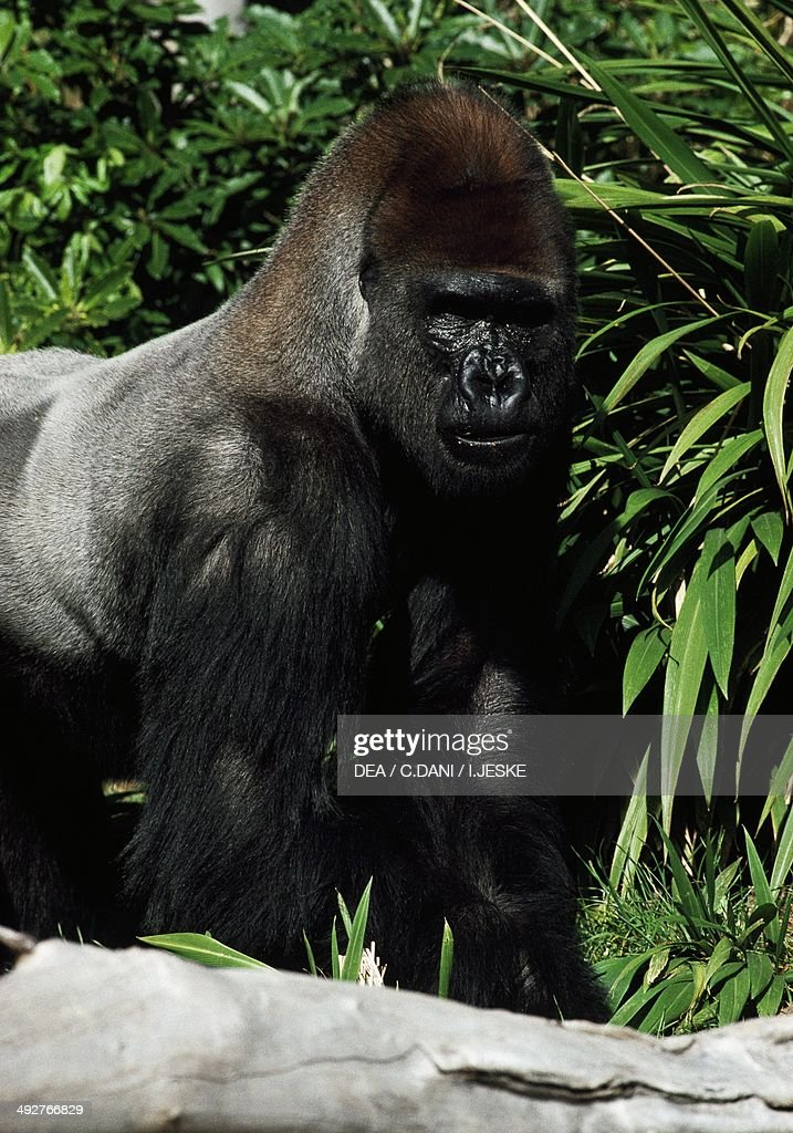 western gorilla hominidae news photo getty images