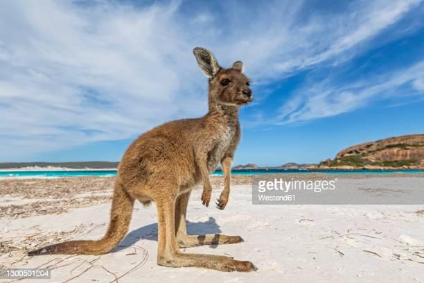 western gray giant kangaroo on beach - marsupial imagens e fotografias de stock