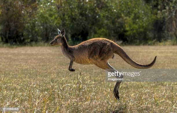 western gray kangaroo (macropus fuliginosus) jumping, yanchep national park, western australia, australia - kangaroo stock pictures, royalty-free photos & images
