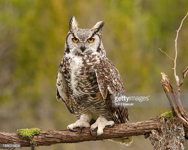 western great horned owl - midland michigan stock pictures, royalty-free photos & images
