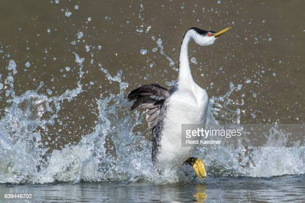 "Western Grebe (Aechmophorus occidentals) ""running"" on top of the water in a courtship display."