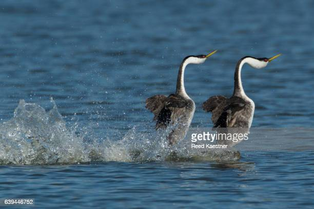 Western Grebe (Aechmophorus occidentals) 'running' on top of the water in a courtship display.