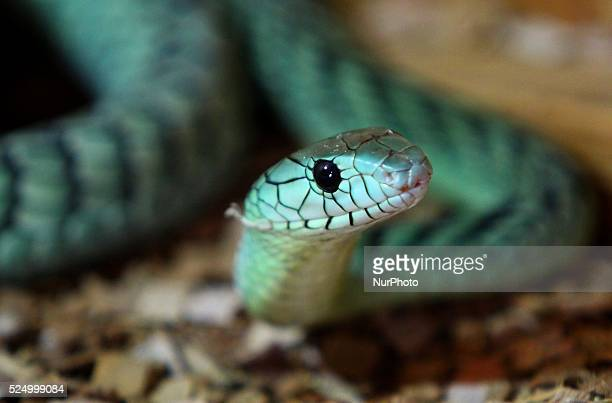 A Western Green Mamba attends during an exotic animal exhibition in the Black sea town of Varna east of the Bulgarian capital Sofia Tuesday August...