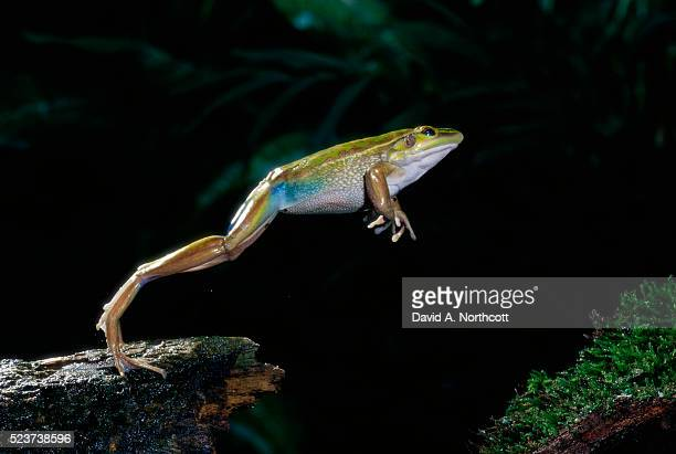 western green tree frog leaping from tree trunk - frog stock pictures, royalty-free photos & images