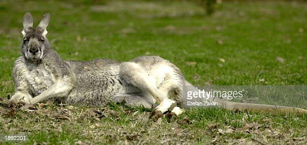 A western grey kangaroo lies on the ground at the National Zoo April 2 2003 in Washington DC After several animal deaths the zoo's application for...