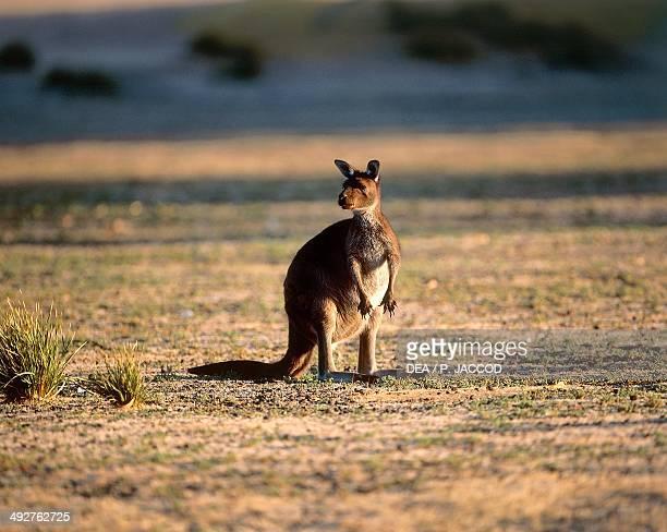 Western grey kangaroo Macropodidae Kangaroo Island Australia