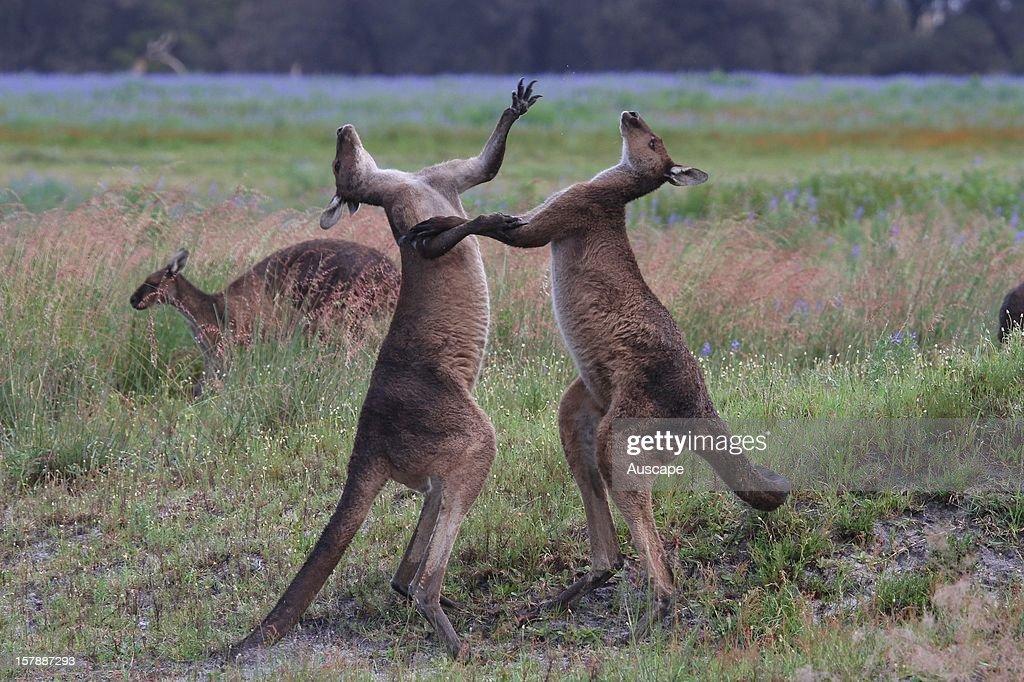 Western grey kangaroo : News Photo