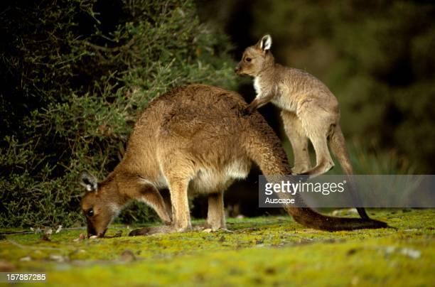 Western grey kangaroo mother and joey South Australia