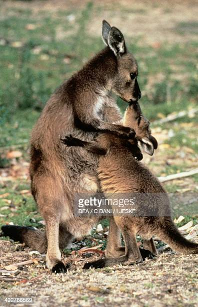 Western grey kangaroo with baby Macropodidae Kangaroo Island Australia