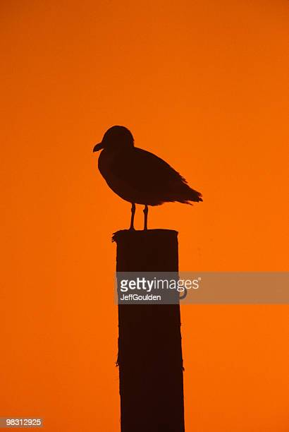 Western Gull on a Piling at Sunset