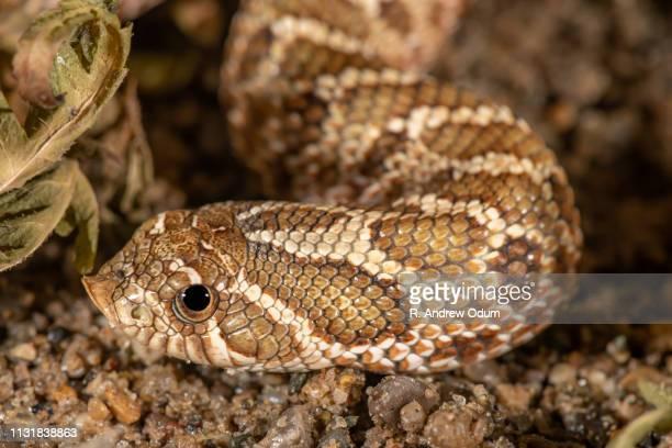 western hognose snake - hognose snake stock pictures, royalty-free photos & images