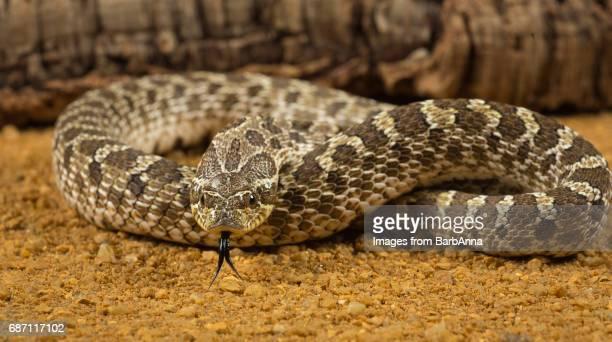 western hognosed snake - hognose snake stock pictures, royalty-free photos & images