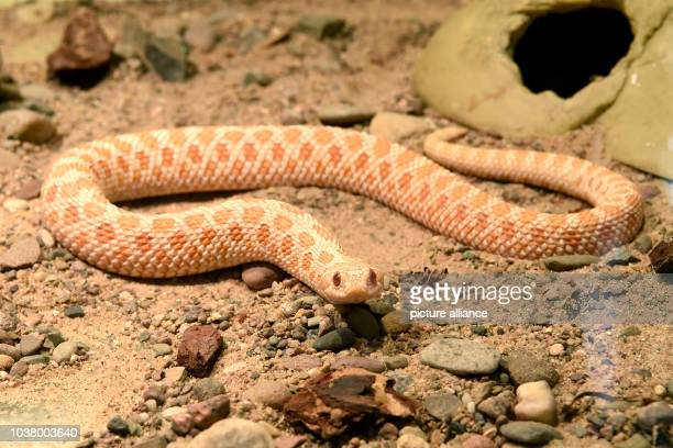 A western hognosed snake seen in a cage of the Sachsenhagen Centre for Wild Animals and Species Conservation in Sachsenhagen Germany 03 February 2017...