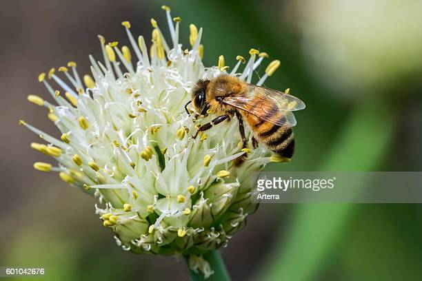 Western honey bee / European honey bee collecting nectar from flower.