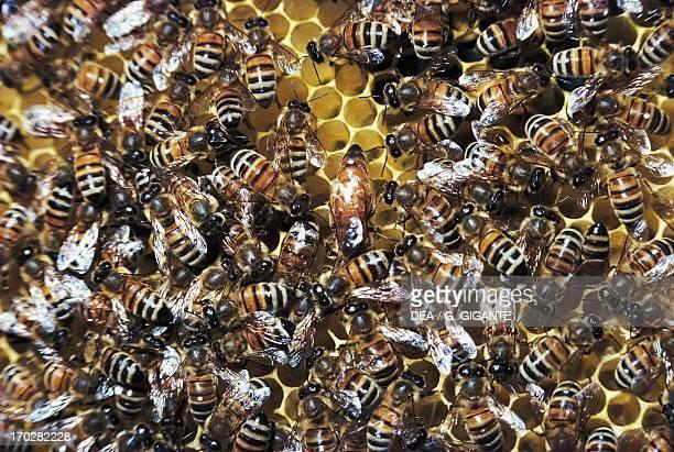 Western honey bee or European honey bee Queen and worker bees in the honeycomb Apidae