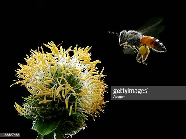 western honey bee - honey bee stock pictures, royalty-free photos & images