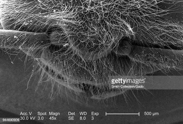 Western honeybee's head and thorax depicted in the 45x magnified scanning electron microscopic image 2005 Image courtesy Centers for Disease Control...