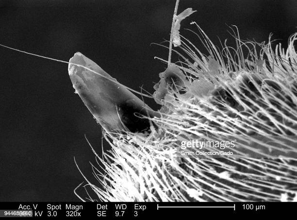 Western honeybee's stinger apparatus depicted in the 320x magnified scanning electron microscopic image 2005 Image courtesy Centers for Disease...