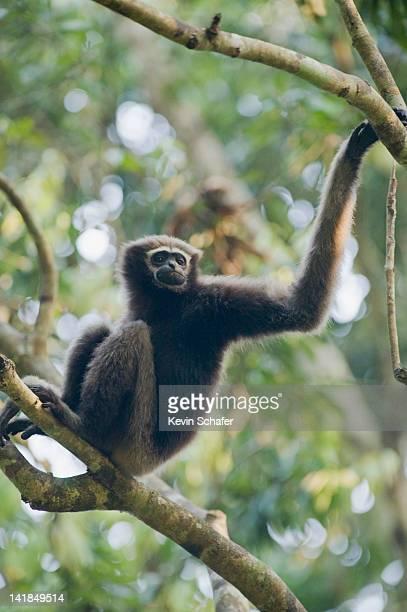 Western Hoolock Gibbon (Hoolock hoolock) Female, Gibbon Wildlife Sanctuary, Assam, India