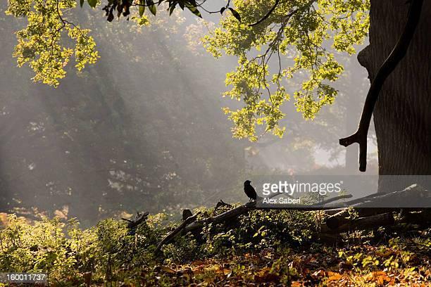 a western jackdaw, corvus monedula, in a misty autumn landscape. - alex saberi stock-fotos und bilder