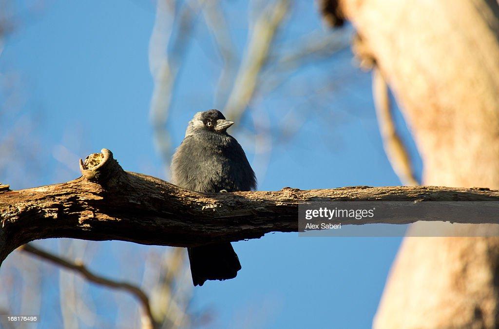 A Western jackdaw, Corvus monedula, perching on a tree in sunlight. : Stock Photo