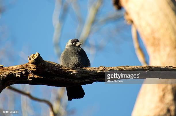 a western jackdaw, corvus monedula, perching on a tree in sunlight. - alex saberi imagens e fotografias de stock