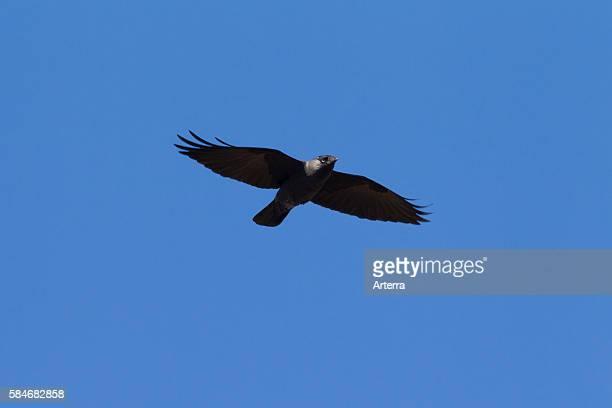 Western Jackdaw / Eurasian Jackdaw / European Jackdaw in flight