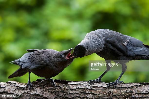 Western Jackdaw / European Jackdaw fledgling in tree begging for food