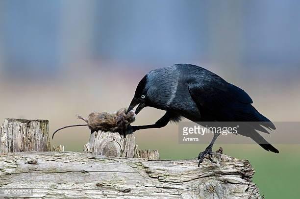 Western Jackdaw / European Jackdaw on wooden fence eating dead mouse