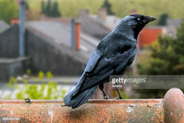Western jackdaw / European jackdaw perched on roof tile of house in village