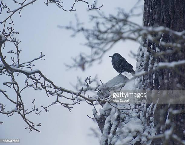 a western jackdaw on a branch in the snow. - alex saberi imagens e fotografias de stock