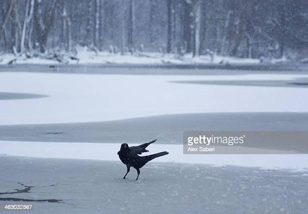 a western jackdaw on a frozen pond in the snow. - alex saberi stock-fotos und bilder