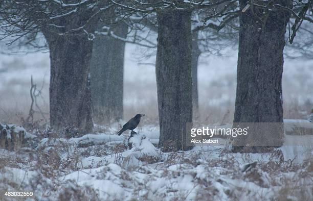 a western jackdaw perching in a snow covered landscape. - alex saberi imagens e fotografias de stock