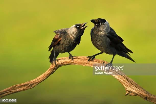 Western jackdaws (Corvus monedula) at the courtship auf Ast, Kiskunsag National Park, Hungary