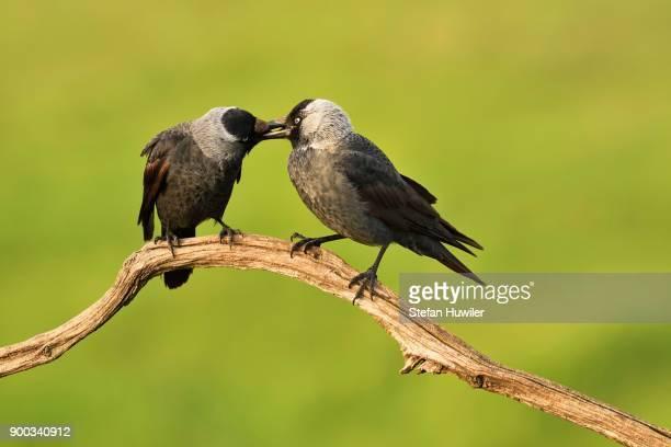Western jackdaws (Corvus monedula) at the courtship display on branch, beaking, National Park Kiskunsag, Hungary
