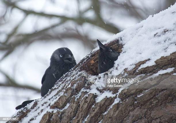 western jackdaws in their snow covered bird nest in a tree hollow. - alex saberi imagens e fotografias de stock
